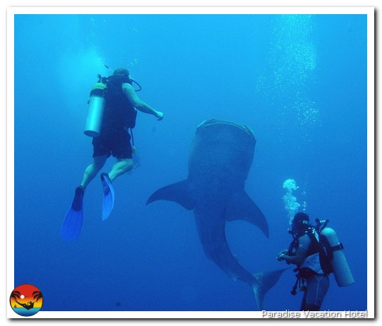 Whale Shark next to two divers on trip out of Placencia, Belize by Alan Stamm